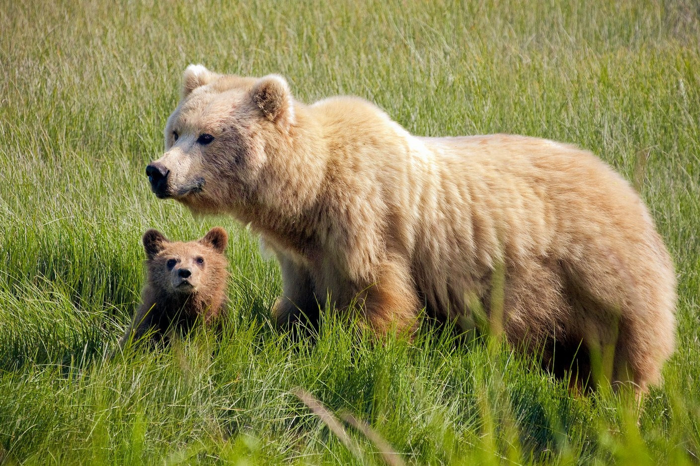 Alaska Bears Gallery