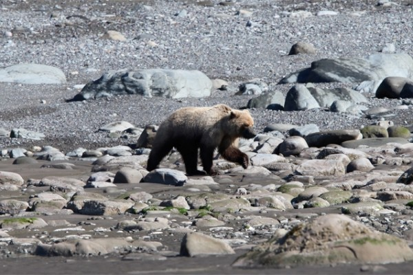 Bear On Beach Bear Viewing Alaska