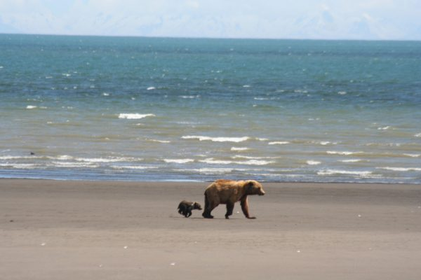 Brown bear sow and cub on beach