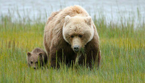 Huge brown bear sow with cub