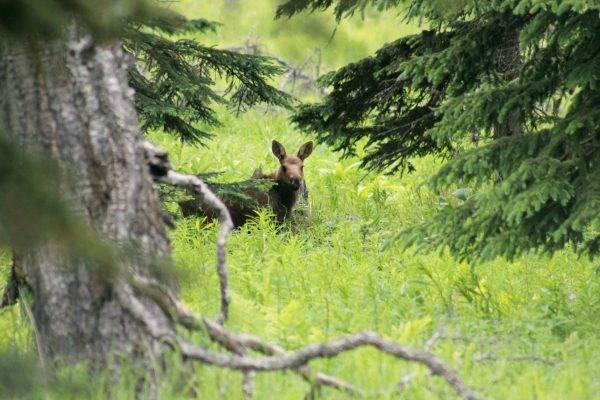 moose-calf-1-KBA
