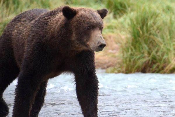 Alaska Trifecta Katmai National Park Brown Bear