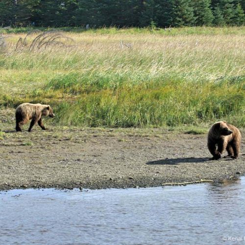 bear-viewing-kenai-backcountry-adventures