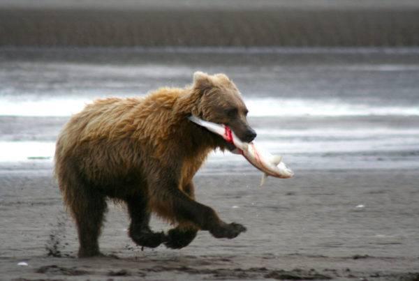 Fishing Bear - Bear Viewing Alaska Bear