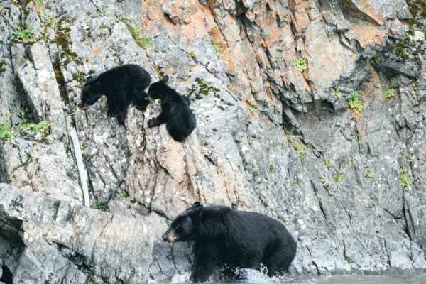 Alaska Black Bears - Kenai Backcountry Adventures