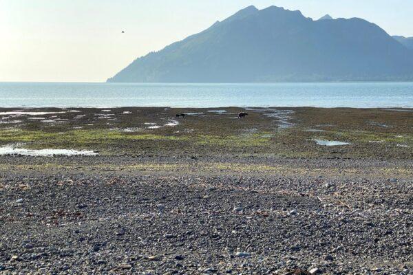Alaska-Bear-Viewing-Experience-1