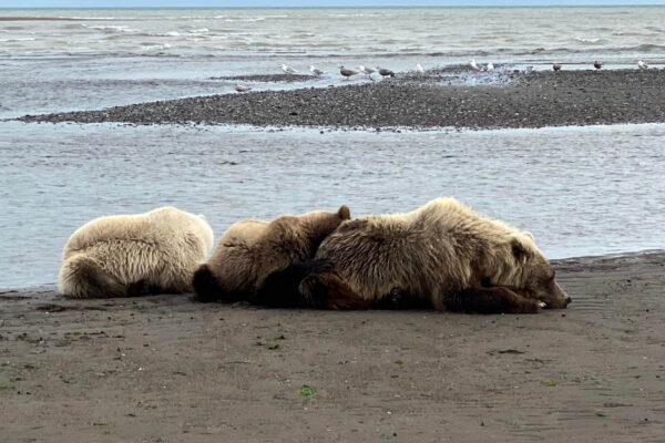 Alaska-Bear-Viewing-Experience-10