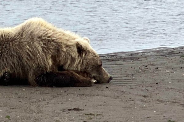 Alaska-Bear-Viewing-Experience-11