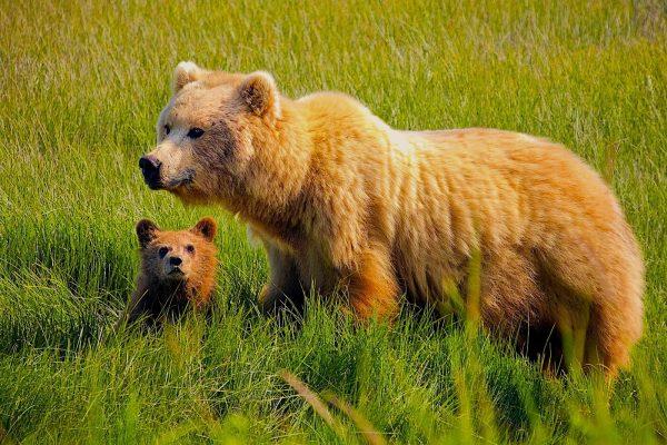 Alaska-Bear-Viewing-Experience-16