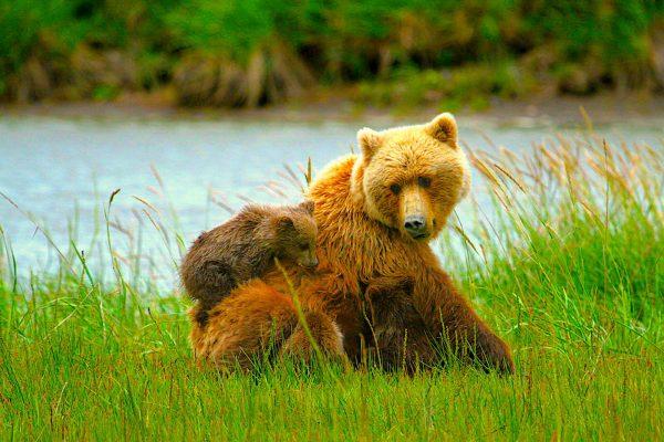 Alaska-Bear-Viewing-Experience-18
