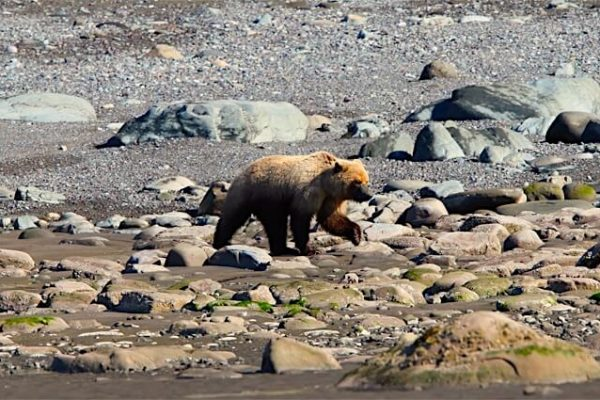 Alaska-Bear-Viewing-Experience-19