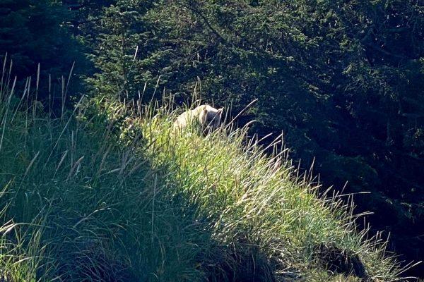Alaska-Bear-Viewing-Experience-4