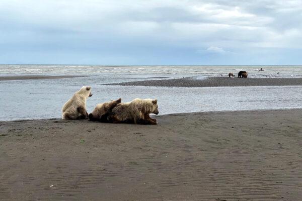 Alaska-Bear-Viewing-Experience-9